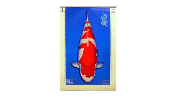 画像1: 錦鯉カレンダー2020 ジャンボ